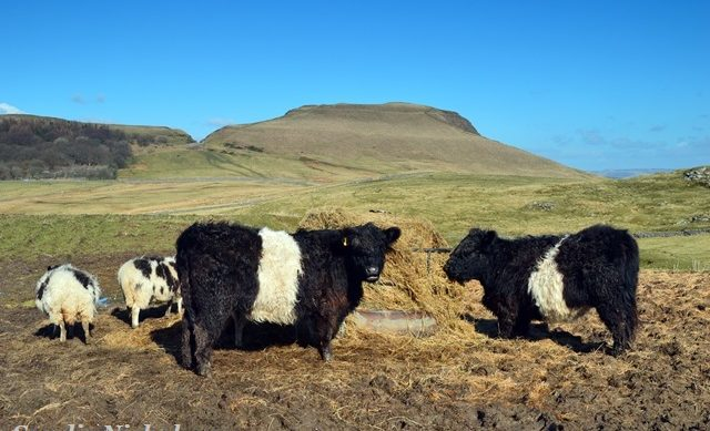 Belted galloways at Mam Tor