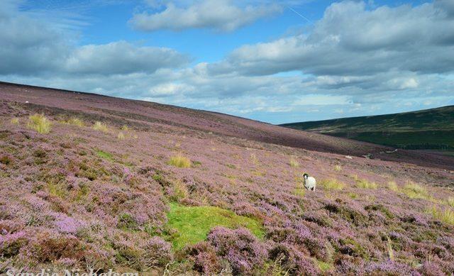 Derwent Edge heather moorland