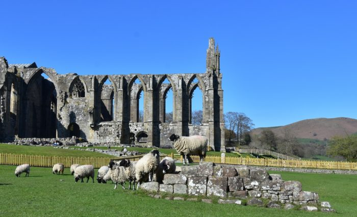 Bolton Abbey with flock of sheep